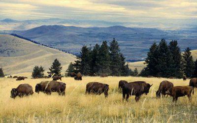 The 10,000 Year Significance of Bison